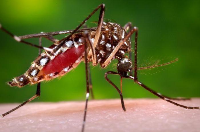 Опасный комар - переносчик туляреми