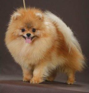порода собаки шпиц