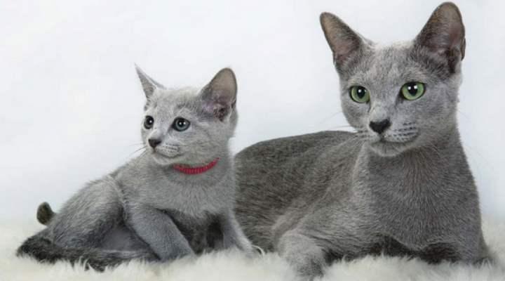 Самым популярным видом среди русских кошек издавна считается русская голубая