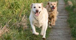 дисплазия суставов у собак группа риска