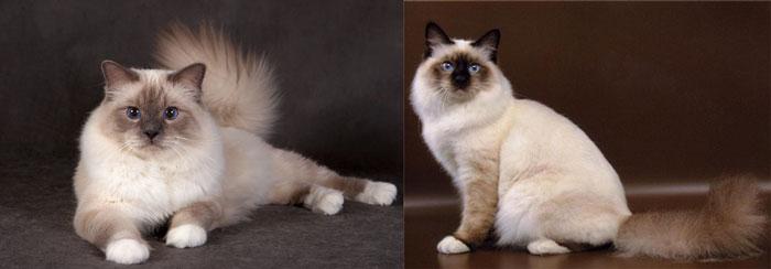 Коты бирманские