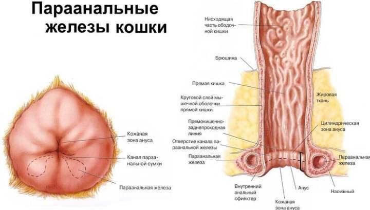 Рисунок параанальных желез у кошки
