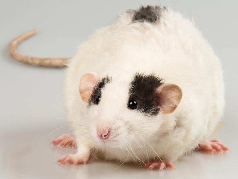 Разновидность крыс - Дамбо