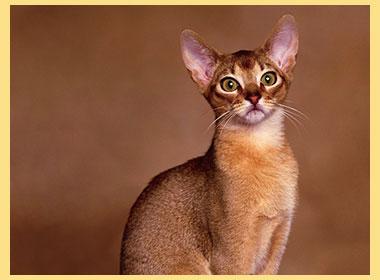 Порода абисанский кот
