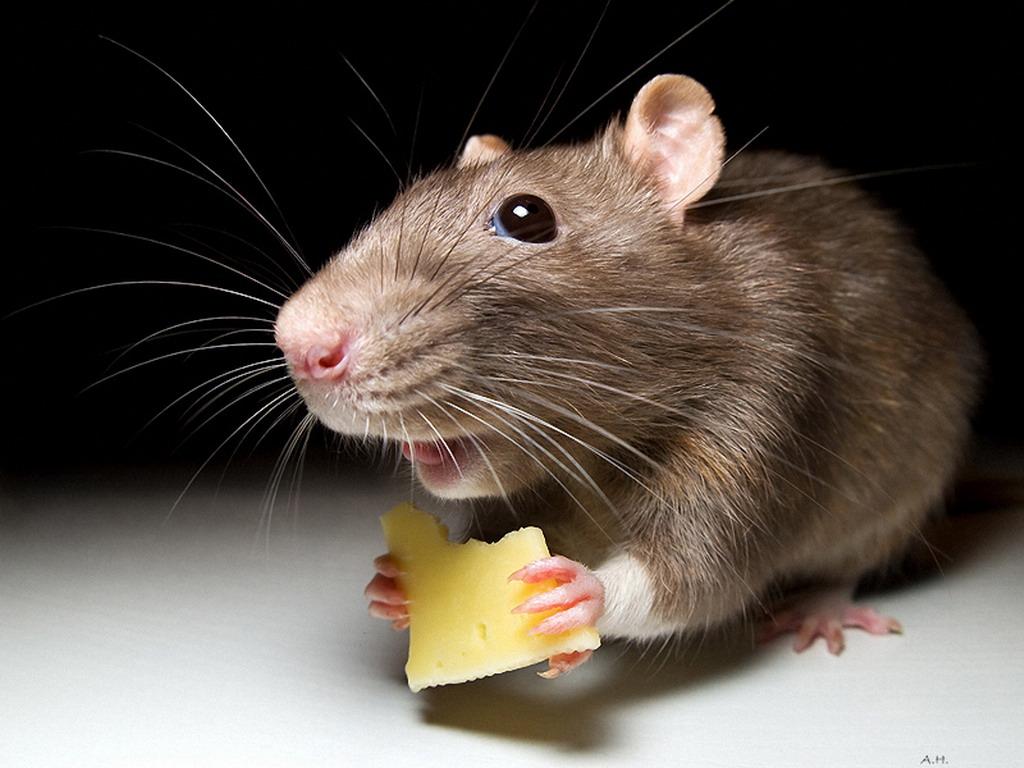 Фото мыши с сыром