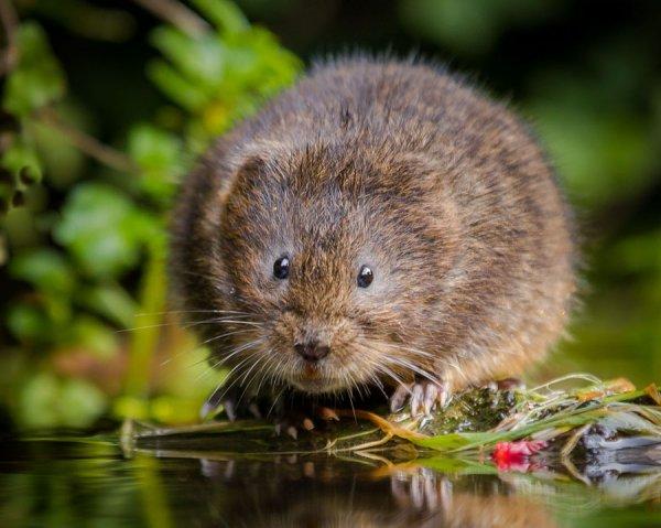 Крыса земляная возле водоема