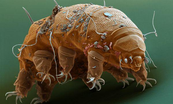 Постельный клещ также называется пылевой или бельевой