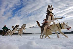 катание на собаках породы хаски