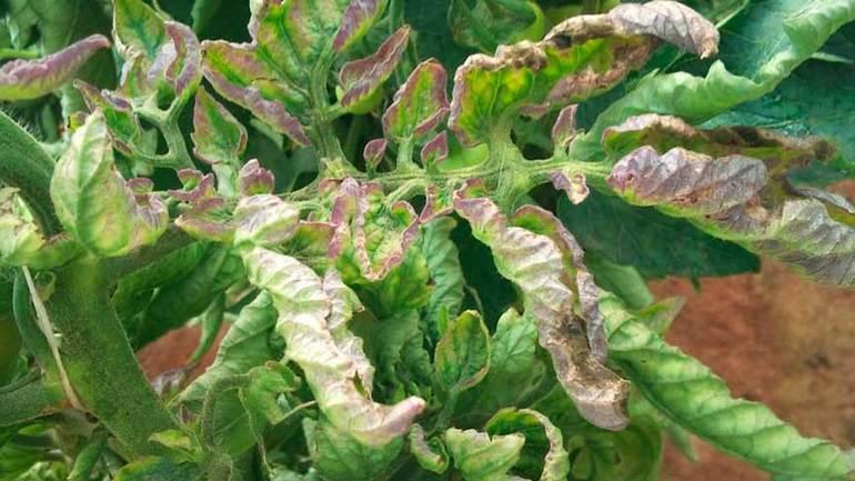 Листья покрыты серыми пятнами, затем желтеют, скручиваются и засыхают