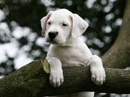 щенок аргентинского дога
