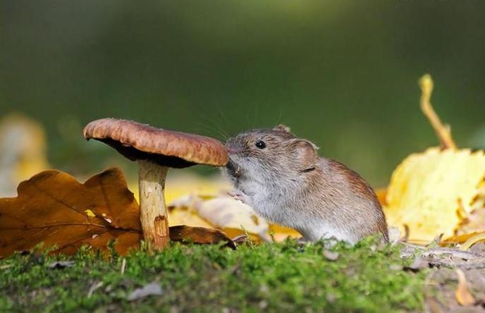 Мышь пробует на вкус гриб