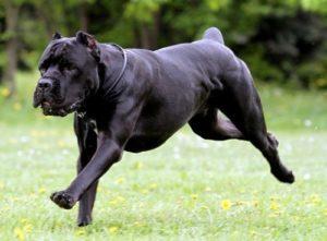 кане-корсо собака