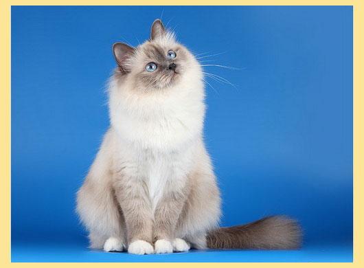 Кошка бирманская окраса сил поинт
