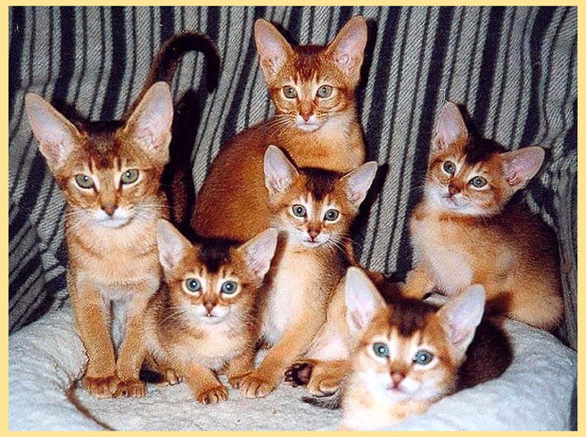 Абисанские кошки