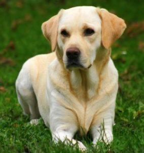 пес лабрадор