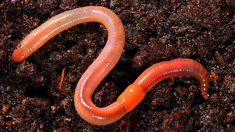 Характер поведения дождевых червей