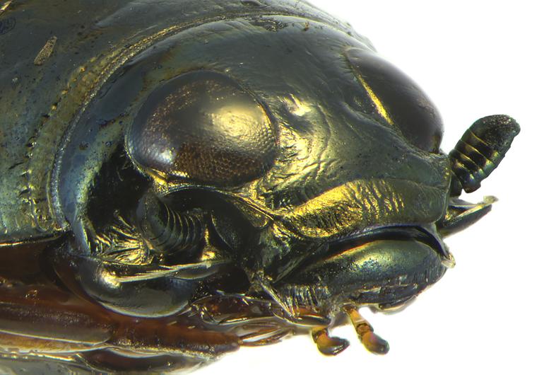 Образ жизни жука-плавунца
