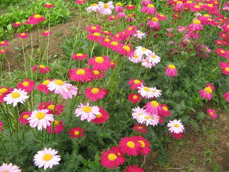 Цветок пиретрум как средство от блох