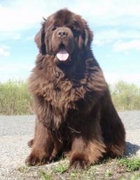 стоимость собак породы ньюфаундленд