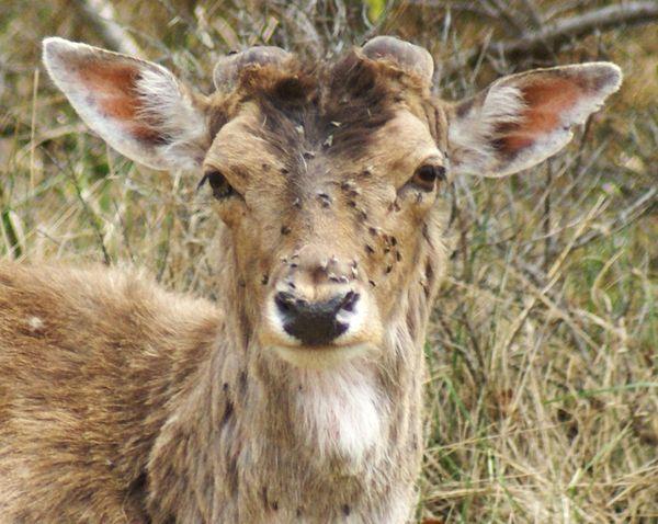 Лосиные клещи чаще встречаются на теле оленей и лосей