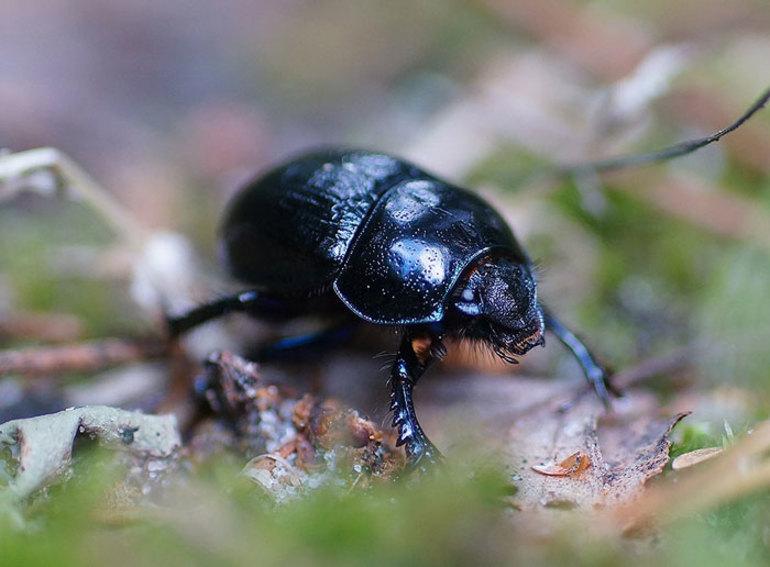 В чем польза жука навозника