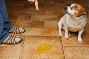 метэструс у собак