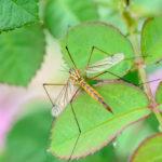 Большой комар на листьях дерева