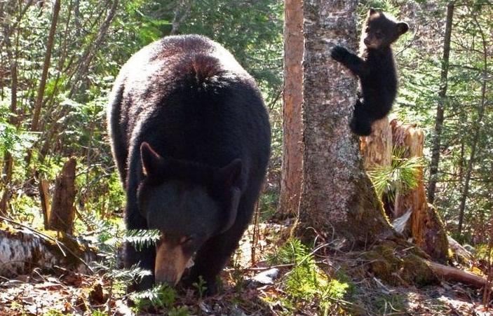 Медведь - враг муравьев в лесу