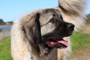 описание кавказской собаки