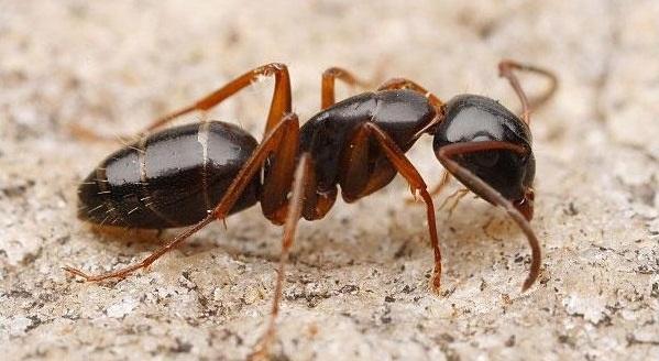 Блестящий муравей-древоточец