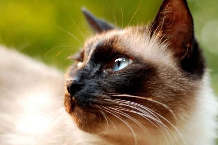 Кошка сиамской разновидности - Балинезийская