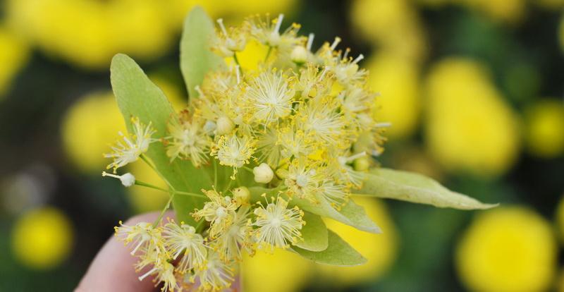 Цветки и кора липы: польза и вред