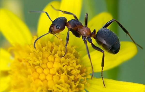 Луговой муравей на цветке