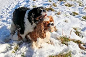 процедура вязки собак