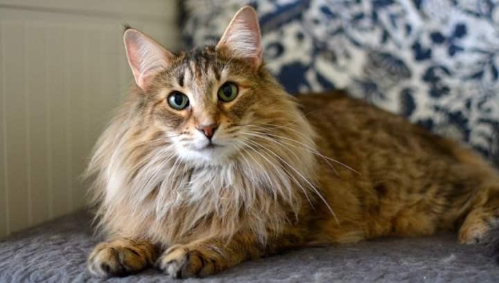 Сколько стоит норвежская лесная кошка