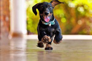 гладкошерстные собаки средних пород
