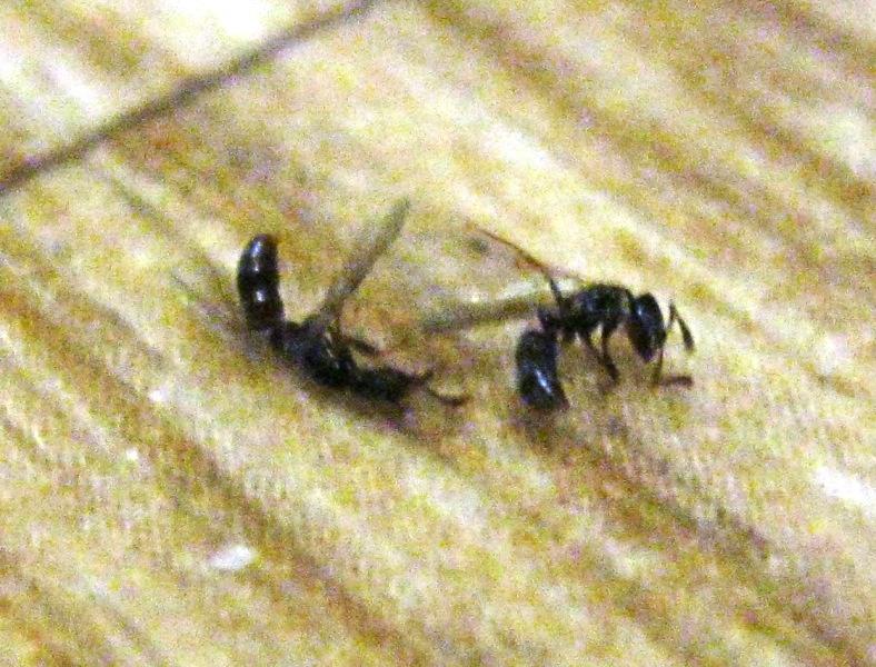 Летающие муравьи в квартире