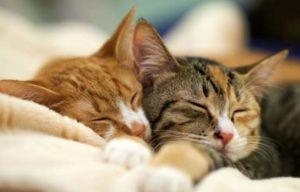 2 сонные кошки