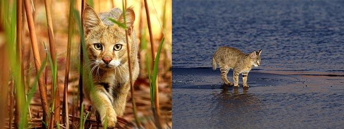 Камыши, река и камышковые коты