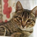 Кот короткошерстной породы - отличный мышелов
