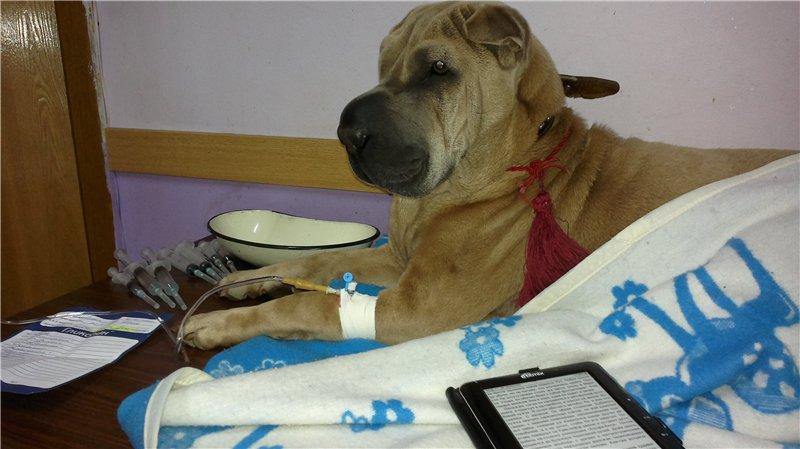 Капельница собаке после отравления ядом