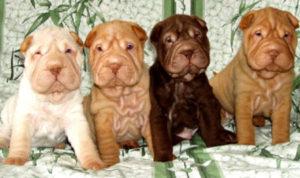разноцветные щенки шарпея