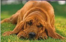 собачья ложная берееменность