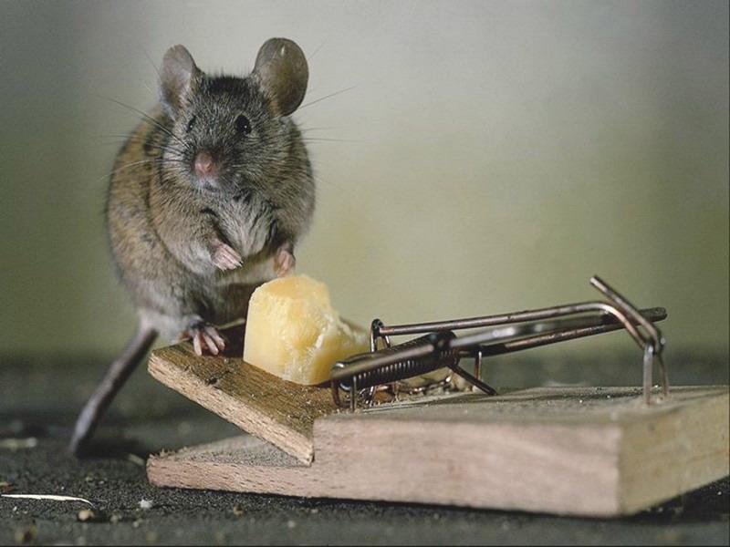 Мышь сидит на мышеловке