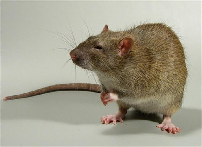 Крыса с очень хитрым взглядом