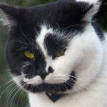 Крупный кастрированный кот, который более не ловит мышей