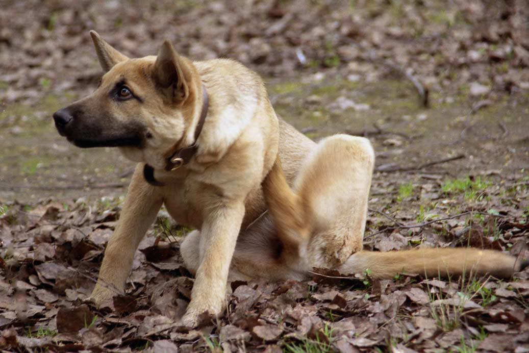 Собака, у которой блохи