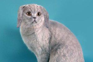 Заячьи уши у кота