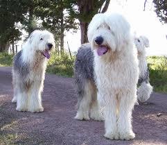 бобтейл собаки