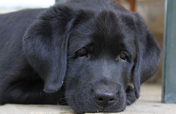 Клещи могут заразить пса тяжелыми заболеваниями